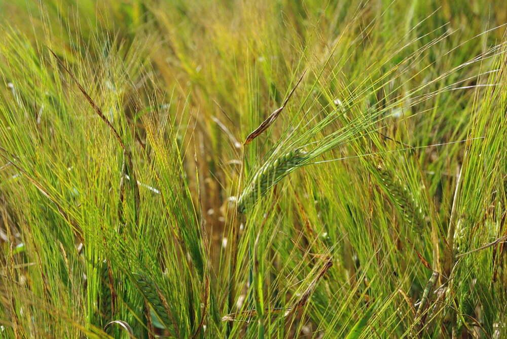 Crop closeup